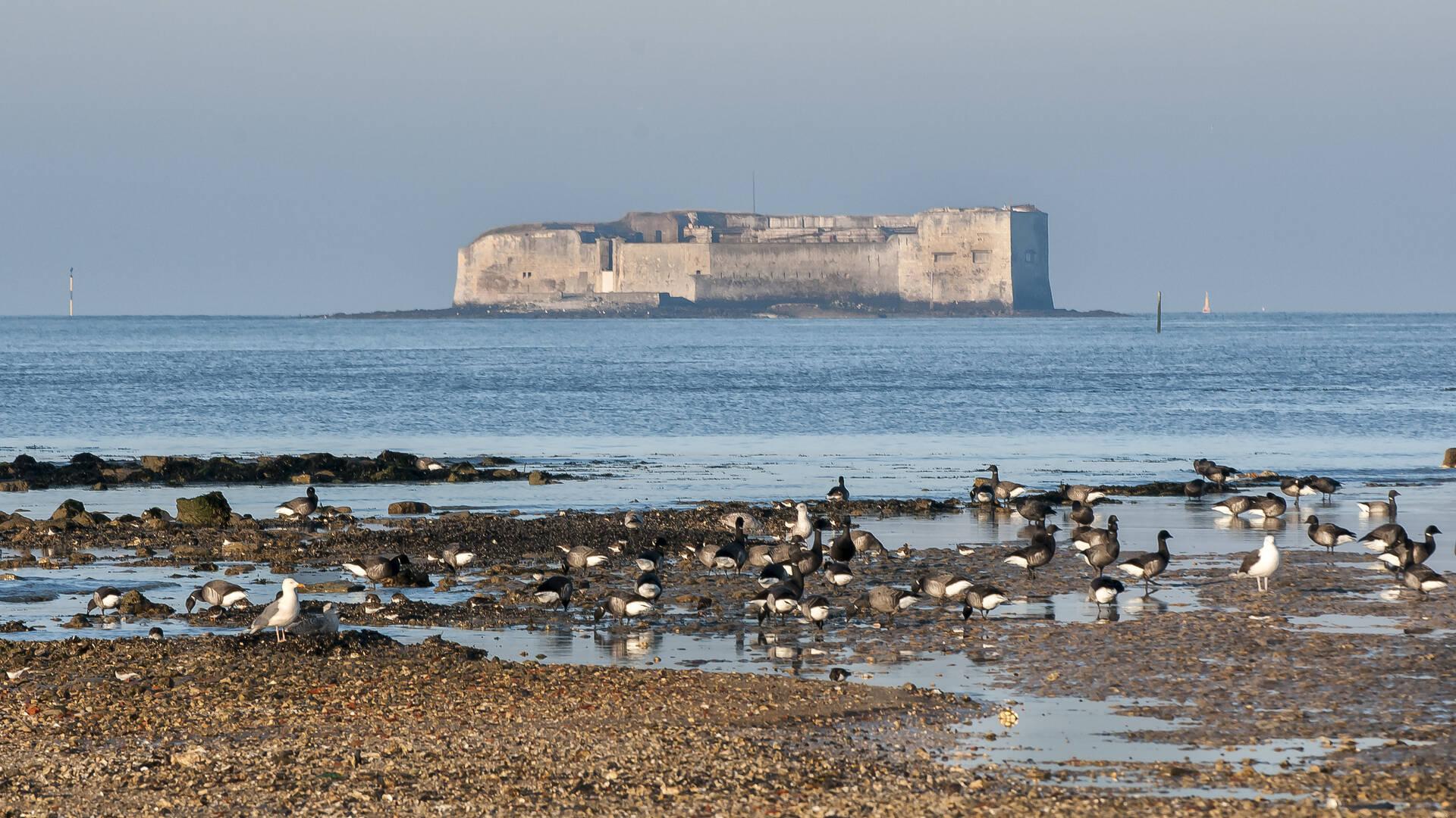 Fort Enet et oies bernaches à la Pointe de la Fumée à Fouras ©Marie Françoise Boufflet