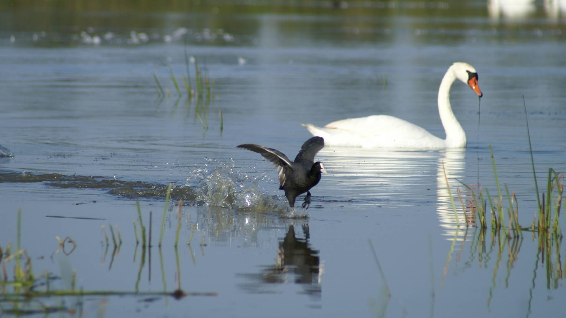 Cygne et oiseau en réserve naturelle © Audrey Deshayes