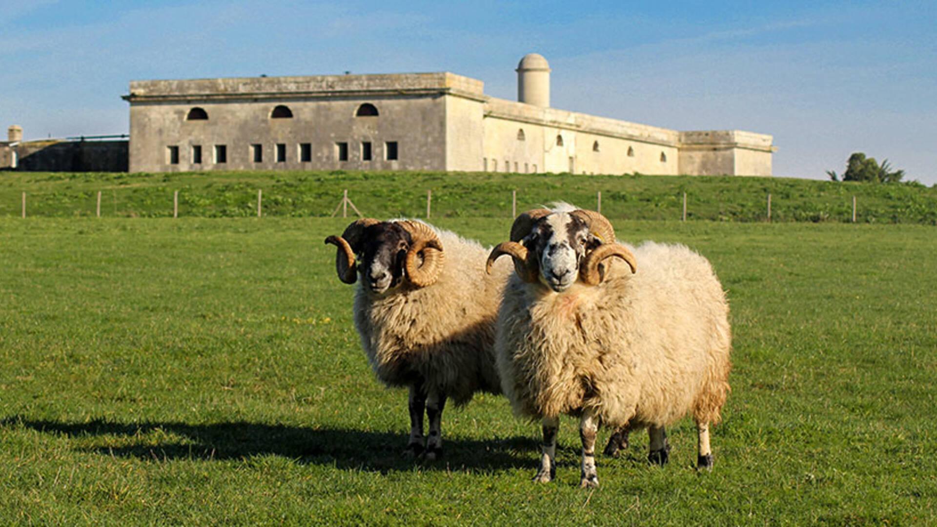 La ferme de l'île Madame élève des moutons réputés pour la subtilité de leur viande © Ferme de l'île Madame