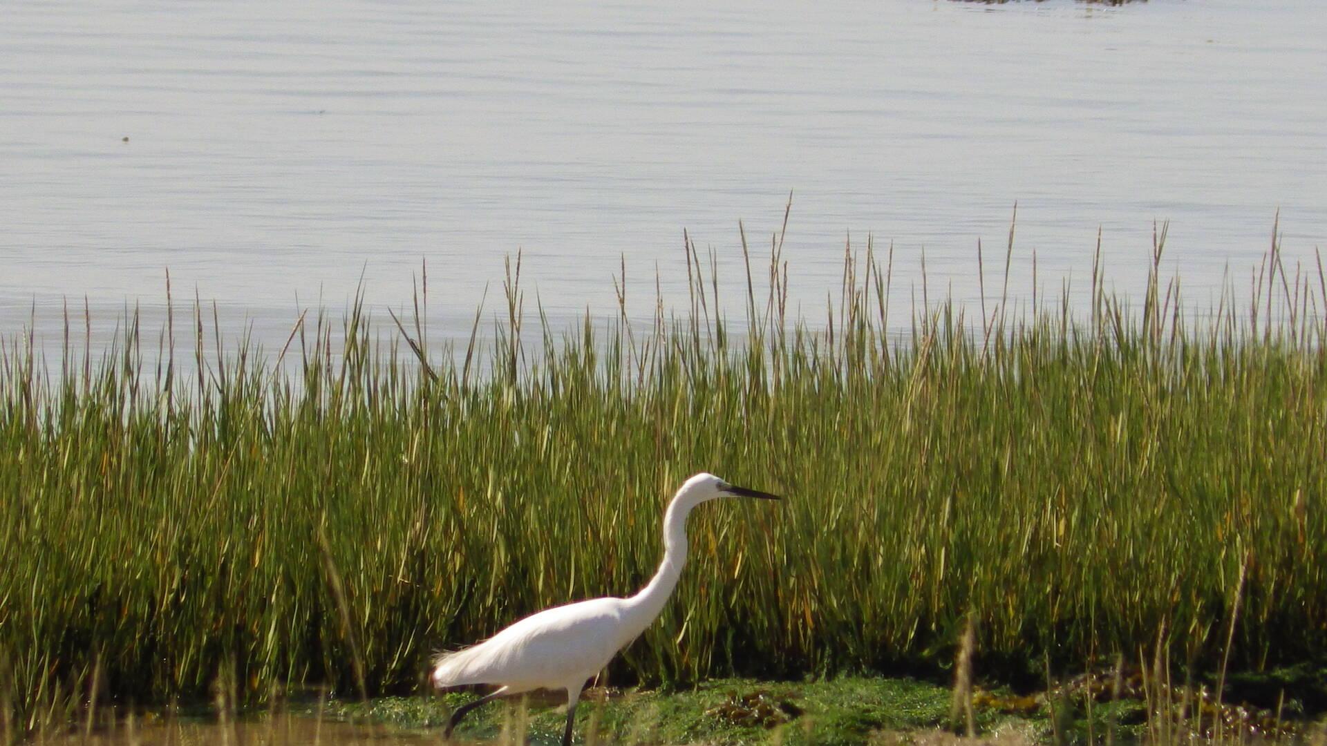 Oiseaux des rives du fleuve Charente, Rochefort Océan