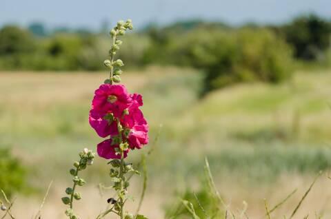 Roses trémières dans les marais de Soumard - © Dfred Photographie