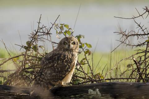Hibou des marais - © Baptiste Chambard