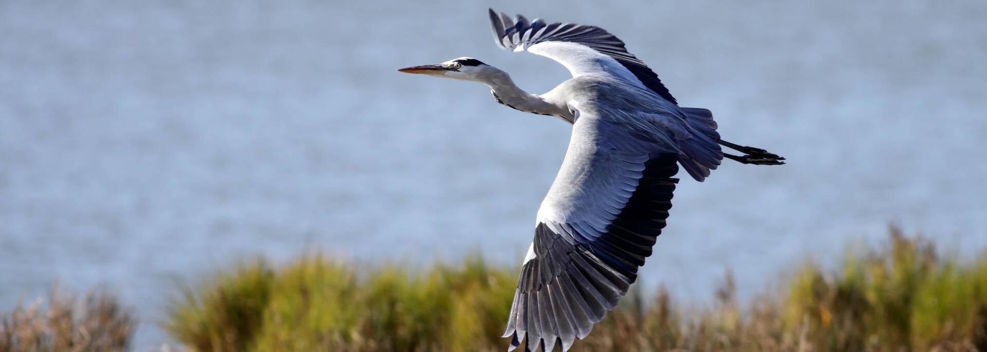 Grey heron, protected species of the League of Protection of Birds - © Zacarias de Mata - Fotolia