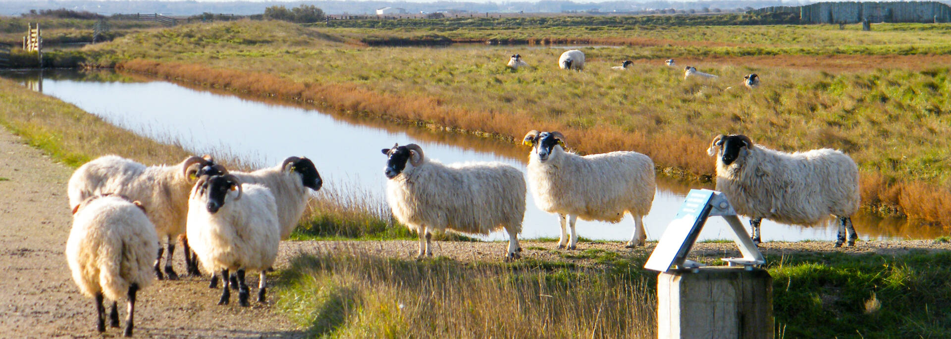 Moutons de la réserve naturelle de Moëze - © Office de tourisme Rochefort Océan