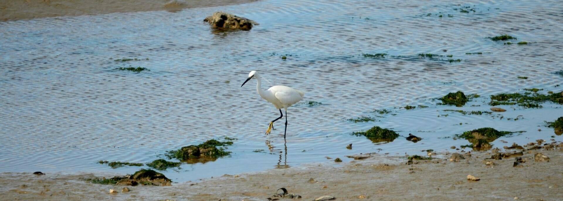 Aigrette garzette sur le bord du littoral - © Dfred Photographie