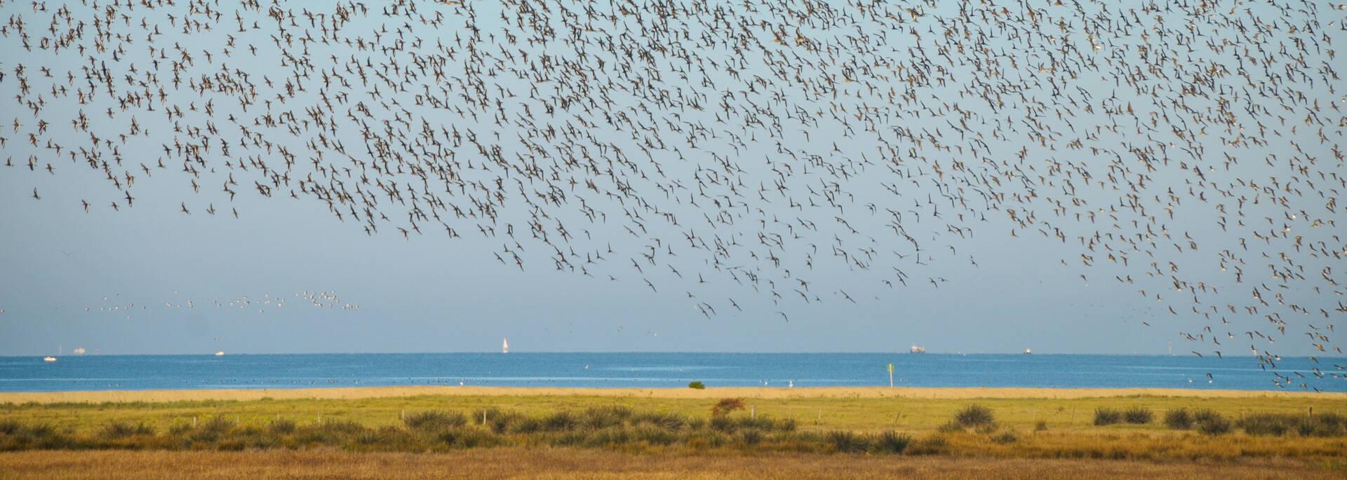 Nuée d'oiseaux au dessus de la réserve d'Yves - © Marie-Laure Cayatte