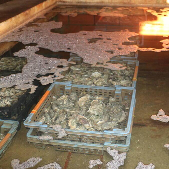 Huîtres - ostréiculture à Fouras, Rochefort Océan