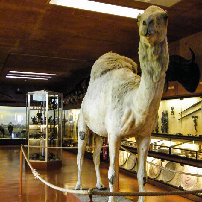 Dromadaire naturalisé, ramené vivant d'Égypte, au Musée africain de l'île d'Aix - © Office de tourisme Rochefort Océan
