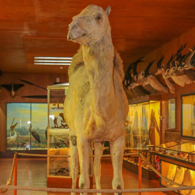 Dromadaire naturalisé que monta Napoléon pendant la campagne d'Egypte, au Musée africain de l'île d'Aix  - © Office de tourisme de Rochefort Océan
