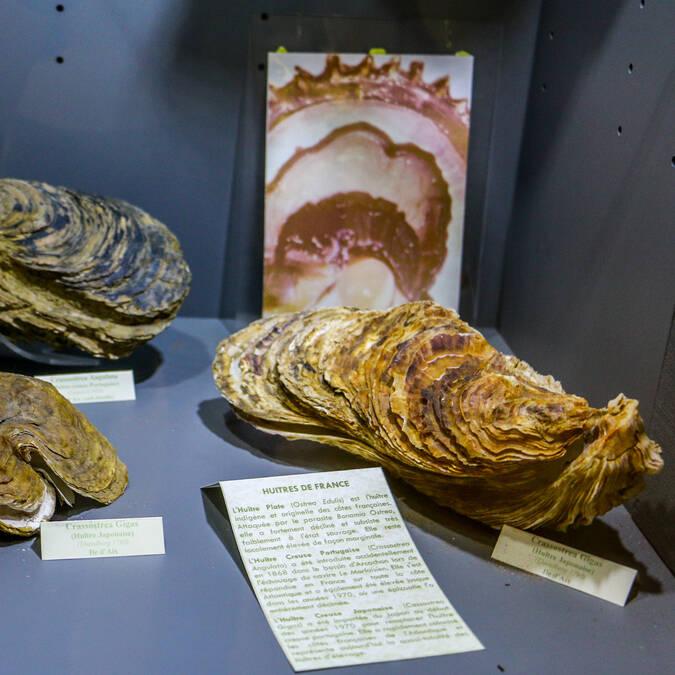 Collection d'huîtres au Musée de la Nacre à l'île d'Aix - © Office de tourisme Rochefort Océan