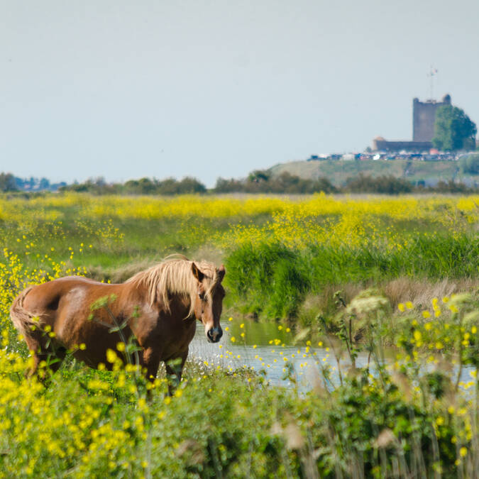 Horses in the marshes of Fouras-les-Bains - © Dfred Photographie