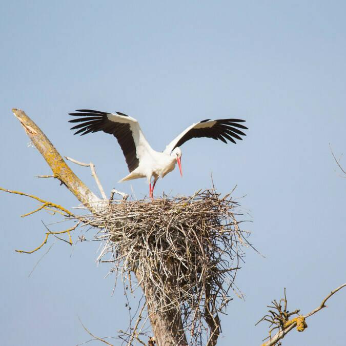 Cigogne sur son nid dans le marais de Rochefort Océan - © Laurent Pétillon