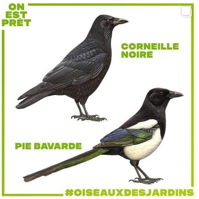 Dessins d'oiseaux Corneille noire et Pie bavarde