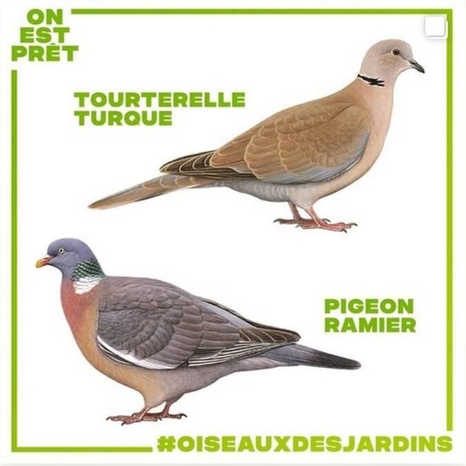 dessins d'oiseaux tourterelles turque et pigeon ramier