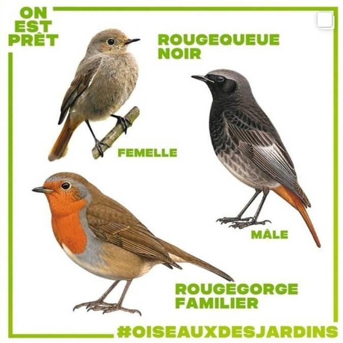 dessins d'oiseaux rougequeue noire et rouge gorge