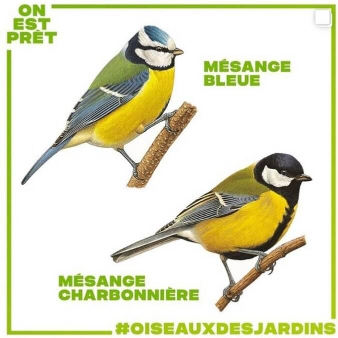 dessins d'oiseaux mésange bleue et chardonnière