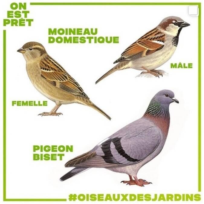 dessins d'oiseaux moineau domestique et pigeon biset