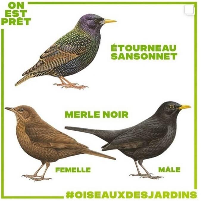 dessins d'oiseaux étourneau sansonnet et merle noir